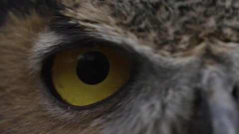 Horned owl macro of eye close up with feathers