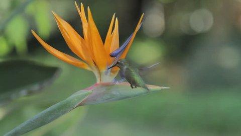Anna's Hummingbird feeding on a tropical flower