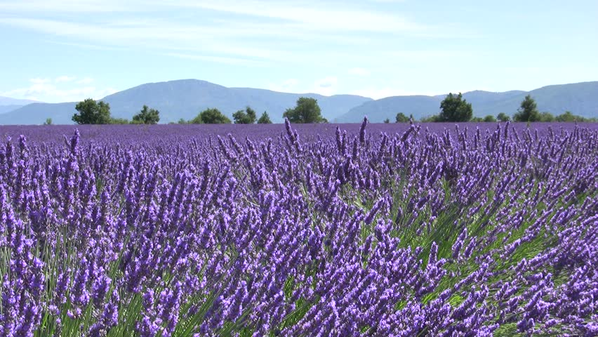 Lavender flower field with mountains. Provence.