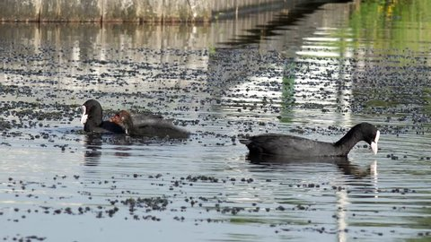 coot swimming on the lake and feeding the  fledgling