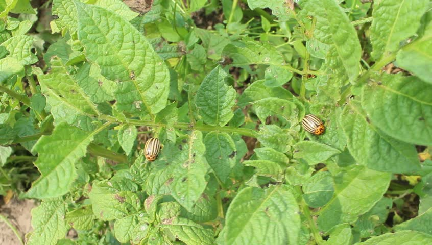 Colorado beetles sitting on the leaf of potato | Shutterstock HD Video #20828809