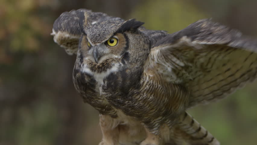Great Horned Owl in flight image - Free stock photo - Public