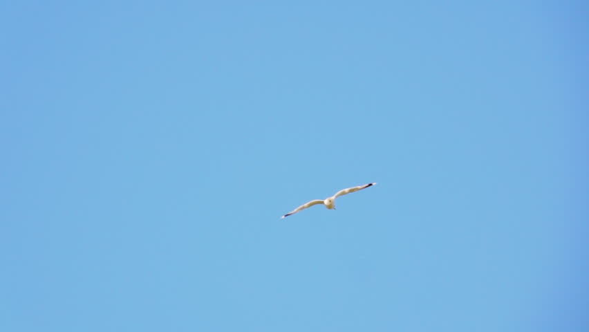 One bird flying in blue sky. Nature background with wildlife. | Shutterstock HD Video #20883259