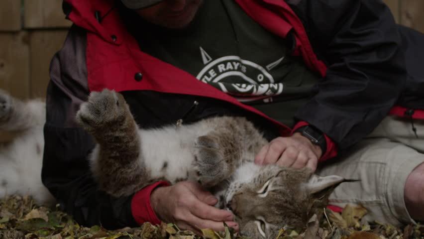 [Lynx being pet by zookeeper in pen]Lynx being pet by zookeeper in pen