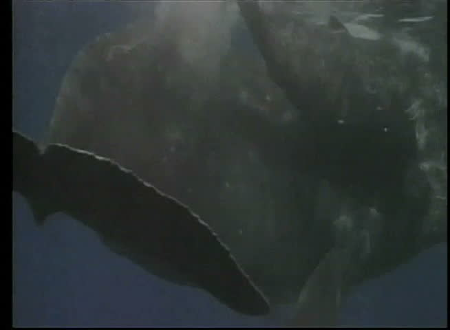 Close Up Of Whale And Her Calf Swimming To Surface   SD Stock Video Clip