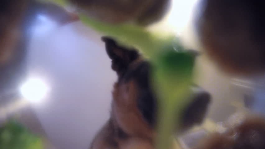Low angle bowl POV Cute brown black german shepherd mix dog eating dog food broccoli from bowl in kitchen setting 4K #21073150