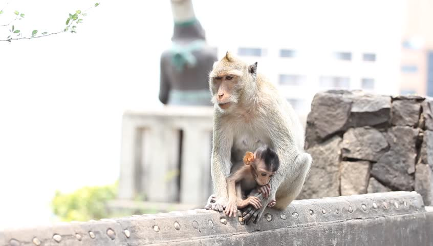 Monkey mother care to protect children | Shutterstock HD Video #21078289