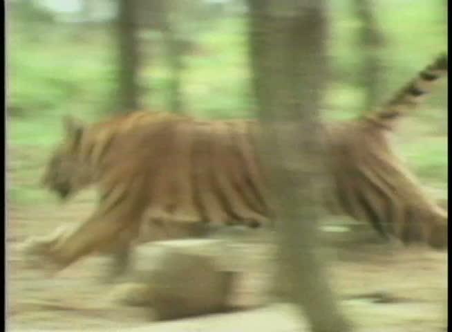 Men hunting tiger in forest