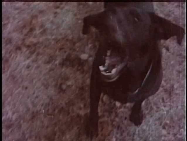 Black dog barking