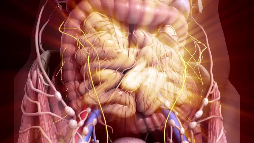 Human anatomy. Guts inside the abdomen