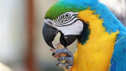 Blue and Yellow Macaw Cracking and Eating Walnut