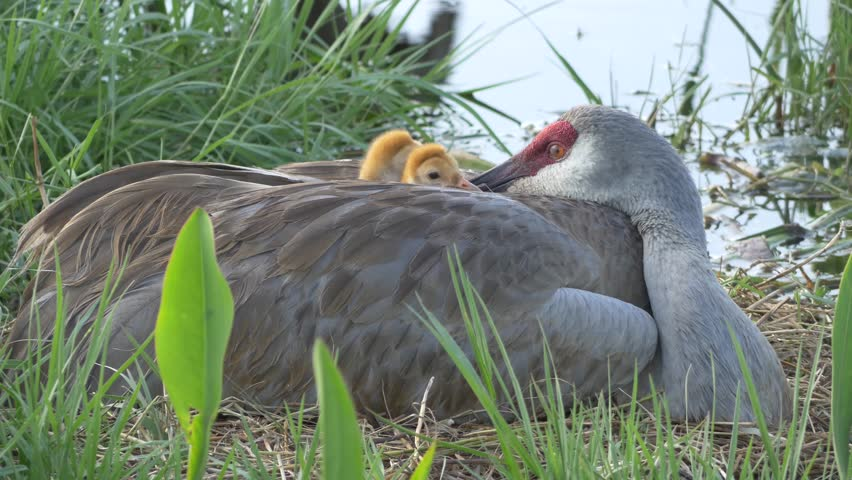 Two Baby Sandhill Cranes Hide Under Mom