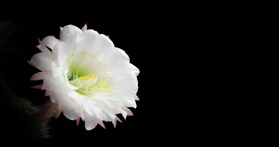Cactus Flower Life Cycle. Rendered with copy space for your text. This type of cactus flower blooms once a year for 24 hours. Shot in a studio with a black background.