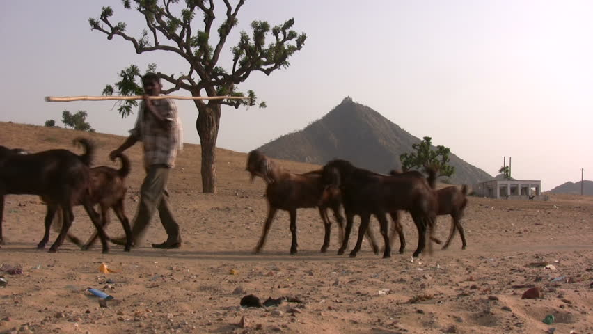 PUSHKAR - 26 APRIL: A herder and his goats pass by in the deserts of Pushkar, India