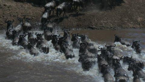 tracking shot of wildebeest crossing the mara river in masai mara game reserve, kenya