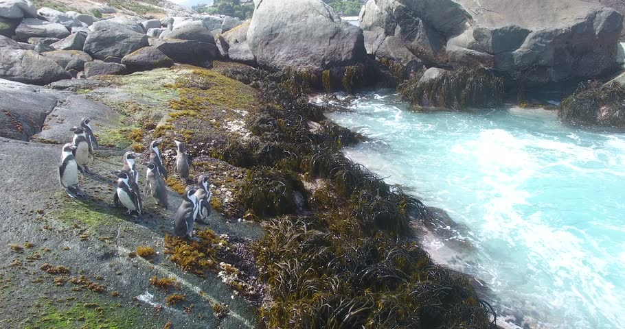 Protected Humboldt penguins on their island habitat, Chile south America.