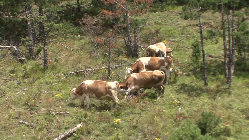 Four cows grazing in a mountain | Shutterstock HD Video #21352249