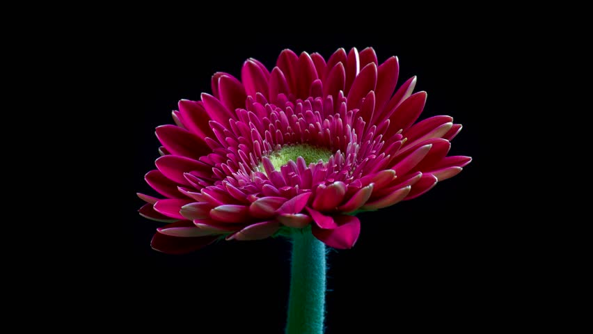 Pink gerbera daisy flower blooming over black background - time lapse
