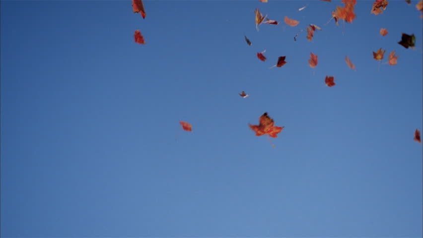 Falling red autumn leaves