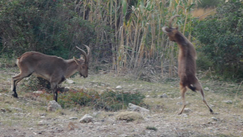 Young male ibex fighting in time of reproduction with the horns