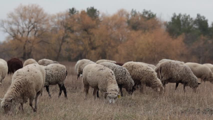 A flock of sheep in the late autumn.Sheep graze in the pasture. Flock of sheep in the meadow. Sheep in the pasture, cloudy autumn day. Sheep eating grass in a meadow. Feeding sheep. A lot of sheep in.