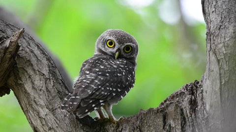 Spotted owlet  coming out from home nest turning head looking   around wondering what photographer doing.Juvenile owl.