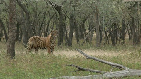 Bengal Tiger (Panthera tigirs tigris) being alert in search of prey, in dry forest