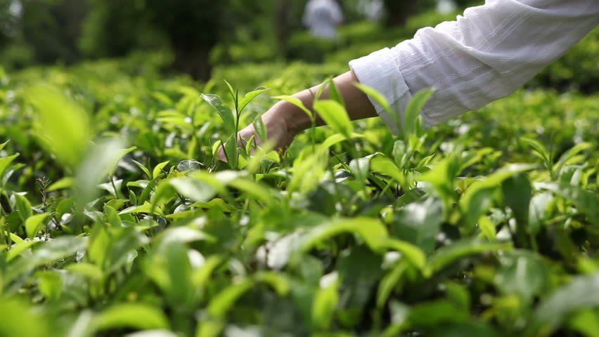 People harvest green tea bush