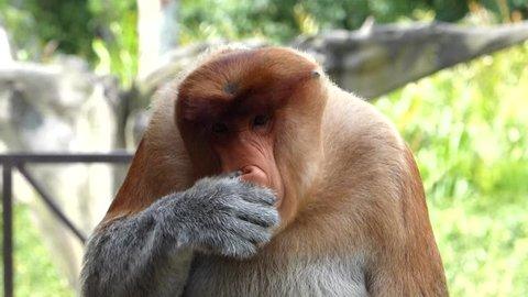 Male Proboscis monkey (Nasalis larvatus) itching nose in Labuk Bay, Sabah, Borneo, Malaysia. Proboscis monkeys are endemic to the island of Borneo.