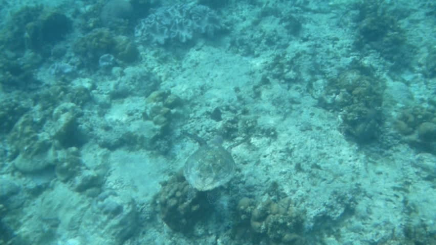 Beautiful Loggerhead sea turtle shot from above swimming through the coral reefs of the Indian Ocean around Seychelles islands