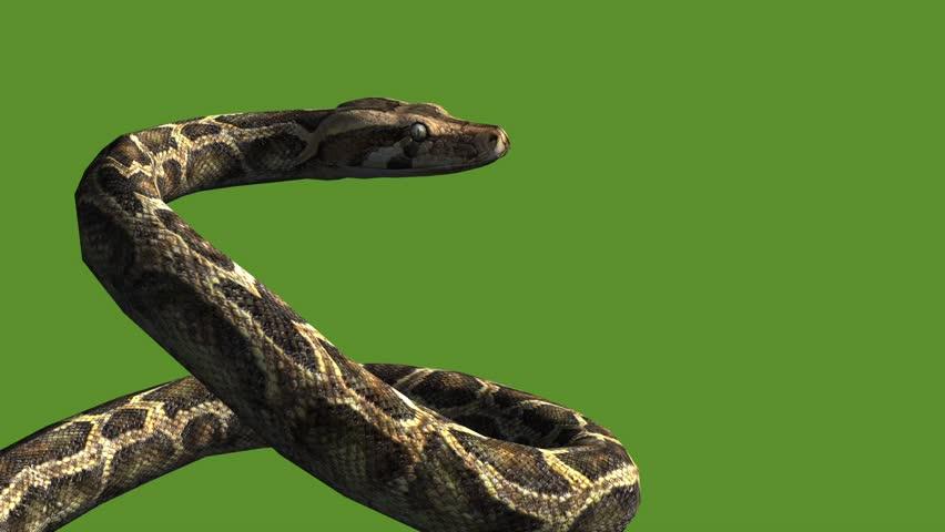 Snake & jungle carpet python open mouth attack