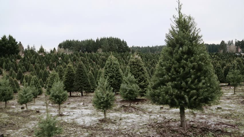 Snow falling at a Christmas tree farm in the country. Snowy holiday scene with Douglas Fir trees at a u-cut family farm.