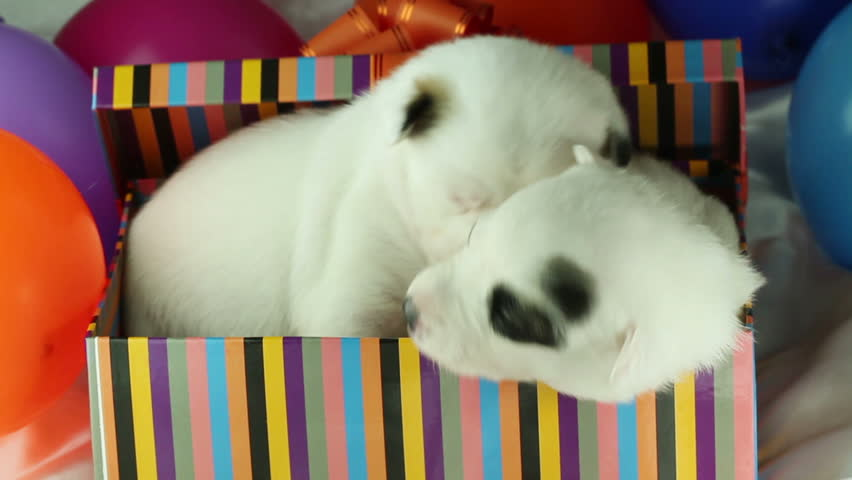 two puppies sitting in a gift box