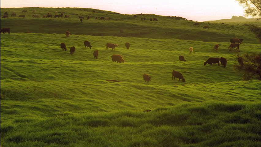 Cows Grazing in Time-lapse - Cows and bulls graze the green grass of a cattle range. The pasture sustains the herd of a dairy farm.