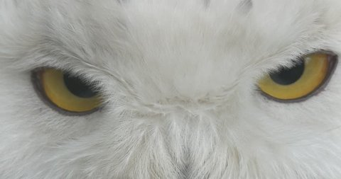 Polar Owl 's Yellow Eyes and Black Pupils in Front of Camera Close Up. White Feathers on the Head of the Bird. Excursion to the Zoo in Summer Sunny Day, Biology and Zoology, Environmental Protection,