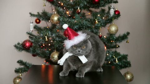 Cat With Big Eyes In Christmas Hat And White Scarf  Near The Christmas Tree. Christmas and New Year Decoration.