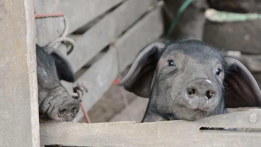 Pigs | Shutterstock HD Video #22015939