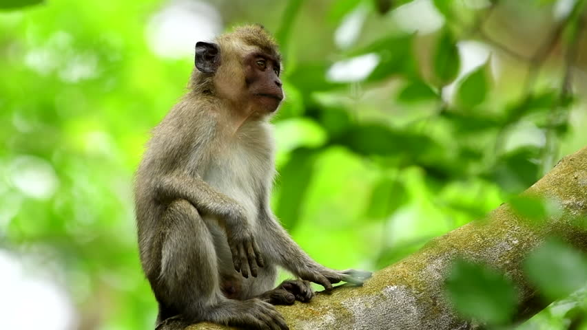 WILDLIFE FROM MAURITIUS - Wild macaque monkey in natural environment