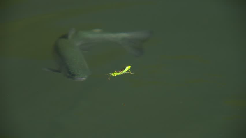 Close-up of a trout rising to grasshopper. Swallowing a grasshopper in one gulp.