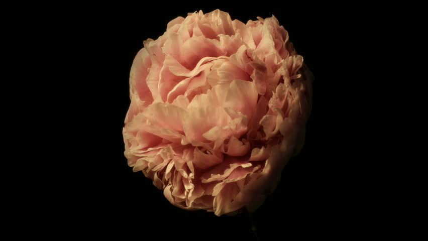 Medium close up time lapse shot of a peony flower drying up and dying against a black background.