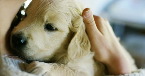 A girl cuddle, play, kisses, trains his dog breed golden retriever puppy with pedigree.Play and are happy and smile. Concept: puppies, love of animals, softness, and nature.
