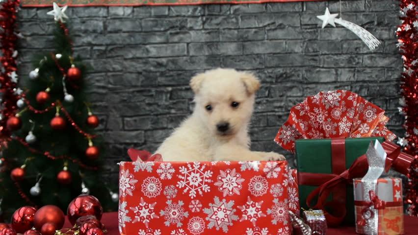 Adorable maltese puppy dog wears santa hat guards for Christmas spirit ideas