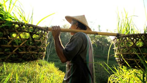 Tropical sun flare view of traditional Bali rice farmer working on hillside field carrying harvested rice crop Asia