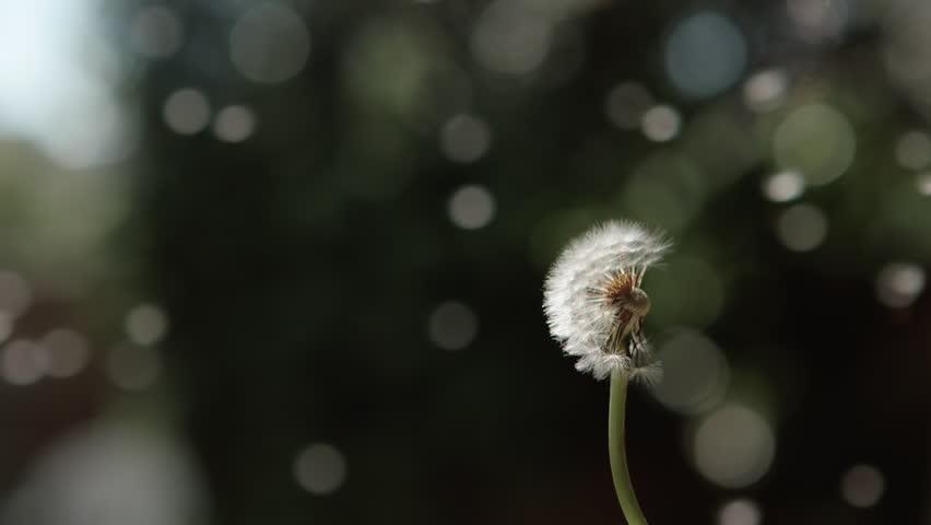 Blowing dandelions - slow motion