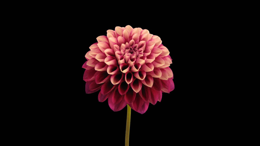 Time-lapse of opening red dahlia flower 9h1x in PNG+ format with ALPHA transparency channel isolated on black background