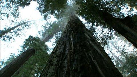 Tilt up view of giant redwood