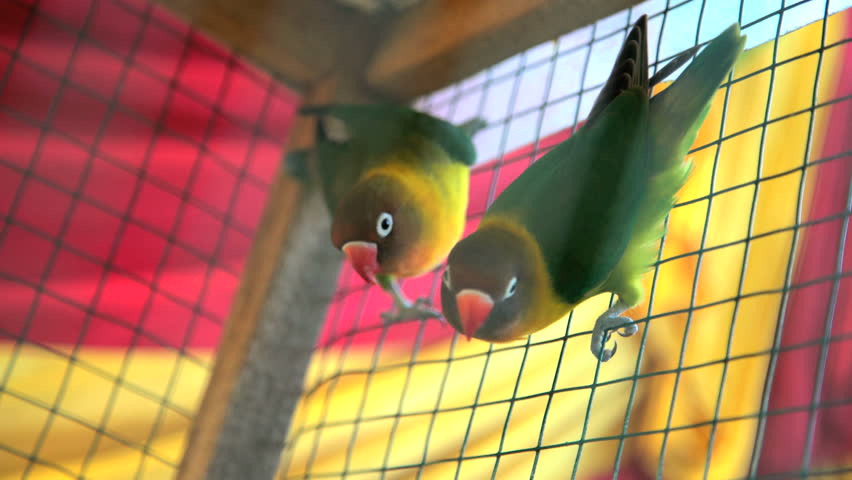 Tropical love birds in cage sold as pets or given as presents Bali Indonesia South East Asia