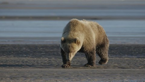 Grizzly Bear Taking a Poop on River Bed