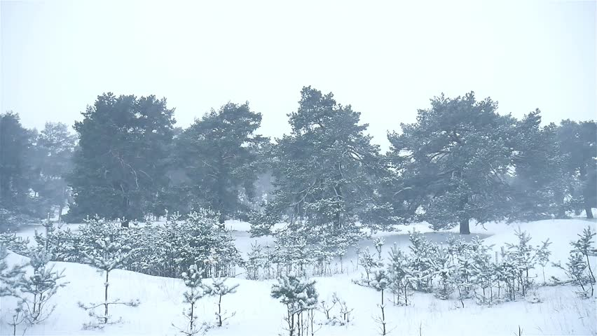 Snowstorm The Woods Snowing Winter Blizzard, Christmas Nature Tree And Pine  Forest Landscape   HD