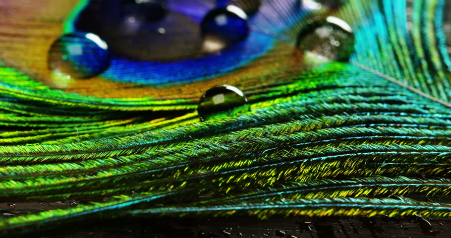 close up or macro of a colorful peacock feather with a drop resting on. The peacock feather full of colors and textures is elegant and decorated. Concept: color accuracy, colors of nature, rainbow.